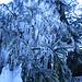 albero all'alpe gera