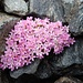 fantastisch, wie dieses Blumenpolster in der Felswelt lebt - und kontrastreich und ausdrucksstark uns erfreut! 1