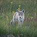 Ein Kojote