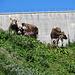 die Kühe sind erstaunt ob der vielen Wanderer und Besucher