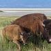 Bison mit Jungtier