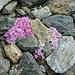 Alpenmannsschild zwischen den Steinen