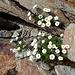 noch ein Margeriten-Grüppchen in den Felsen