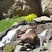 Fetthennen Steinbrech am Wasserlauf