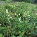 Aconitum altissimum Mill.<br />Ranunculaceae<br /><br />Aconito giallo.<br />Aconite tue-loup.<br />Gewoenlicher Gelb-Eisenhut.