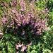 Calluna vulgaris (L.) Hull<br />Ericaceae<br /><br />Brugo.<br />Callune.<br />Basenheide.<br />
