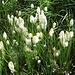 Eriophorum angustifolium Honck.<br />Cyperaceae<br /><br />Pennacchi a foglie strette.<br />Linaigrette à feullies étroites.<br />Schmallblättriges Wollgrass.<br />