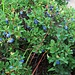 Vaccinium uliginosum L.<br />Ericaceae<br /><br />Falso mirtillo.<br />Airelle des marais.<br />Gewoehnliche Rauschbeere.