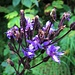 Cicerbita alpina (L.) Wallr.<br />Asteraceae<br /><br />Cicerbita violetta.<br />Cicerbite des Alpes.<br />Alpen-Milchlattich.