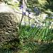 Glockenblumen zieren den alten Grenzstein