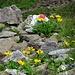 Farbig: Blauweisse  und rotweisse Markierung am selben Stein im Kontrast zu den gelben Gemswurz