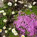 Farbige Alpenflora