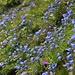 Am Wegrand gibt's teilweise ganze Felder von Glockenblumen.