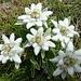 Edelweiss-Strauss, stellvertretend für viele hundert dieser schönen Alpenblumen heute.