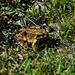 Bergsteiger-Frosch