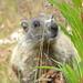 cominciano le foto delle marmotte