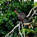 Hoatzin - Einer der urtümlichsten Vögel der Welt