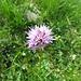 Kugelorchis (Traunsteinera globosa)