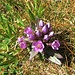 Gentiana ramosa Hegetschw.<br />Gentianaceae<br /><br />Genziana ramosa.<br />Gentiane rameuse.<br />Reichästiger Enzian