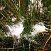 Eriophorum angustifolium Honck.<br />Cyperaceae<br /><br />Pennacchi a foglie strette.<br />Liaigrette à feuilles étroites.<br />Schmallblättriges Wollgrass.