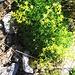 Saxifraga aizoides L.<br />Saxifragaceae<br /><br />Sassifraga cigliata.<br />Saxifrage des ruisseaux.<br />Bach-Steinbrech.<br />