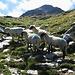 Pecore sul Reverz de Passit.