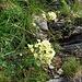 Saxifraga paniculata Mill.<br />Saxifragaceae<br /><br />Sassifraga alpina.<br />Saxifrage paniculée.<br />Trauben-Steinbrech.<br />