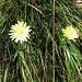 Hieracium pilosella ?