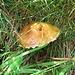Un laricino, ce ne sono tanti in giro come anche diverse Mazze di tamburo. Per me possono mangiarseli le lumache.