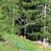 Lontano, al limitare del pascolo sotto l'Alpe d'Ocola ecco un cervo intento a brucare.