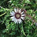Carlina acaulis subsp. caulescens (Lam.) Schübl. & G.Martens<br />Asteraceae<br /><br />Carlina bianca.<br />Carline blanche.<br />Silberdistel.