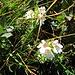 Euphrasia minima Schleich.<br />Orobanchaceae (incl. Scrophulariaceae p.p.)<br /><br />Euprasia minima.<br />Euphrasie naine.<br />Zwerg-Augentrost.