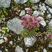 Hauswurz...die Natur selbst gestaltet die schönsten Gärten