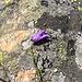 Ausgeschnittene Glockenblume (Campanula excisa) - Eine im Binn- und Saastal endemische Art