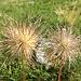 Verblühte Anemonen