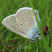 Rotklee-Bläuling, Polyommatus semiargus<br /><br />