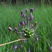Kiel-Lauch, Allium carinatum