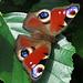 Für mich, wie viele schöne Schmetterlinge überhaupt, ein Wunder der Natur / per me, come tante belle farfalle, una meraviglia della natura:<br />Tagpfauenauge, Aglais io