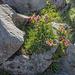 Alpenrosenblüte in natürlichen Blumentöpfen.