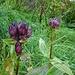Der Purpur-Enzian blüht hier immer noch kräftig