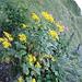 Jetzt blühen nur noch Wenige, wie z.B.der blaue Eisenhut (i.HG)