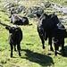 Eine leichtere Rinderrasse als üblich?