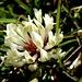 Eine ganz gewöhnliche Blüte eines weiss-Klees