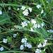 Euphrasia minima Schleich.<br />Orobancheceae (incl. Scrophulariaceae p.p.)<br /><br />Eufrasia minima.<br />Euphrasie naine.<br />Zwerg-Augentrost.