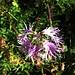 Dianthus superbus L:<br />Caryophillaceae<br /><br />Garofano a pennacchio.<br />Oillet superbe.<br />Pracht-Nelke.