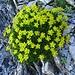 Wie hingepflanzt: ein prächtiger Busch Bach-Steinbrech