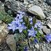 Seltener Anblick: die Mont Cenis Glockenblumen