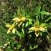 Gentiana punctata L.<br />Gentianaceae<br /><br />Genziana punteggiata.<br />Gentiane ponctuée.<br />Getüpfelter Enzian.