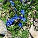 Gentiana brachyphylla L.<br />Gentianaceae<br /><br />Genziana a foglie brevi.<br />Gentiane à feuilles courtes.<br />Kurzblättiger Enzian.