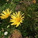 Doronicum clusii (All.) Tausch<br />Asteraceae<br /><br />Doronico del granito.<br />Doronic de Clusius.<br />Clusius Gämswurz.